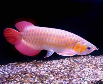 Projek Ikan Hiasan