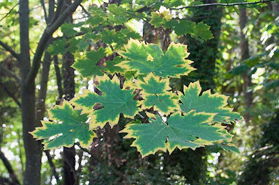 Big Leaf Maple Leaves