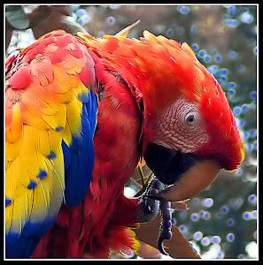 Loro Venezolano (Venezuelan Parrot)