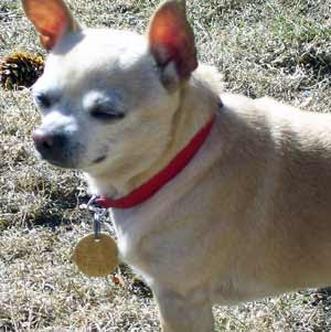 Sugar is our very vocal chihuahua, 'Bark, bark, bark!'