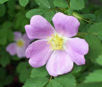 Prairie rose blossoms are a delicate pick color.