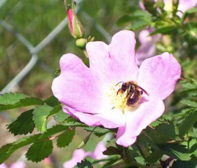 Another bee searching for pollen on the roses.