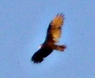 Turkey Vulture close up