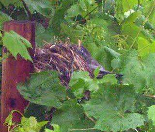 Robin's nest has tipped to the side.