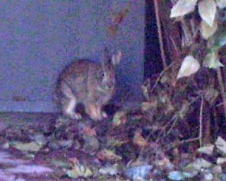 Here's a close-up of the rabbit in the previous photo. Enlarged greatly, it gets pretty grainy.