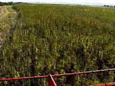 Harvesting Hemp, Noirmoutier, France 2003