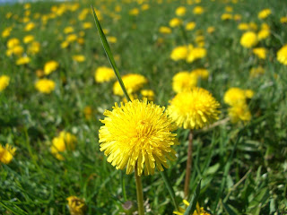dandelions (onemorehandbag)