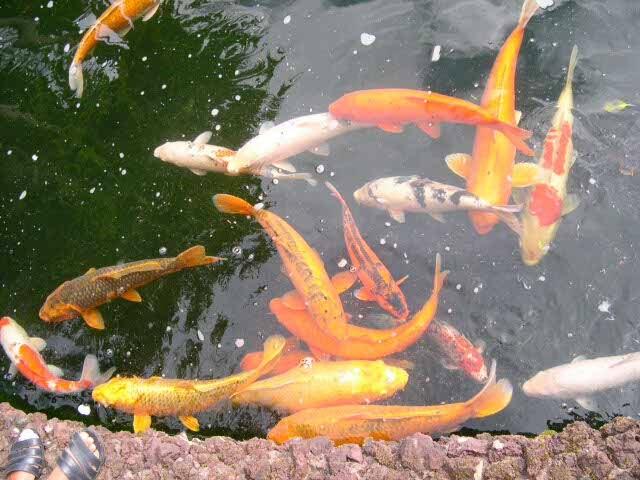 Simbolo da sorte koi for Como criar peces koi
