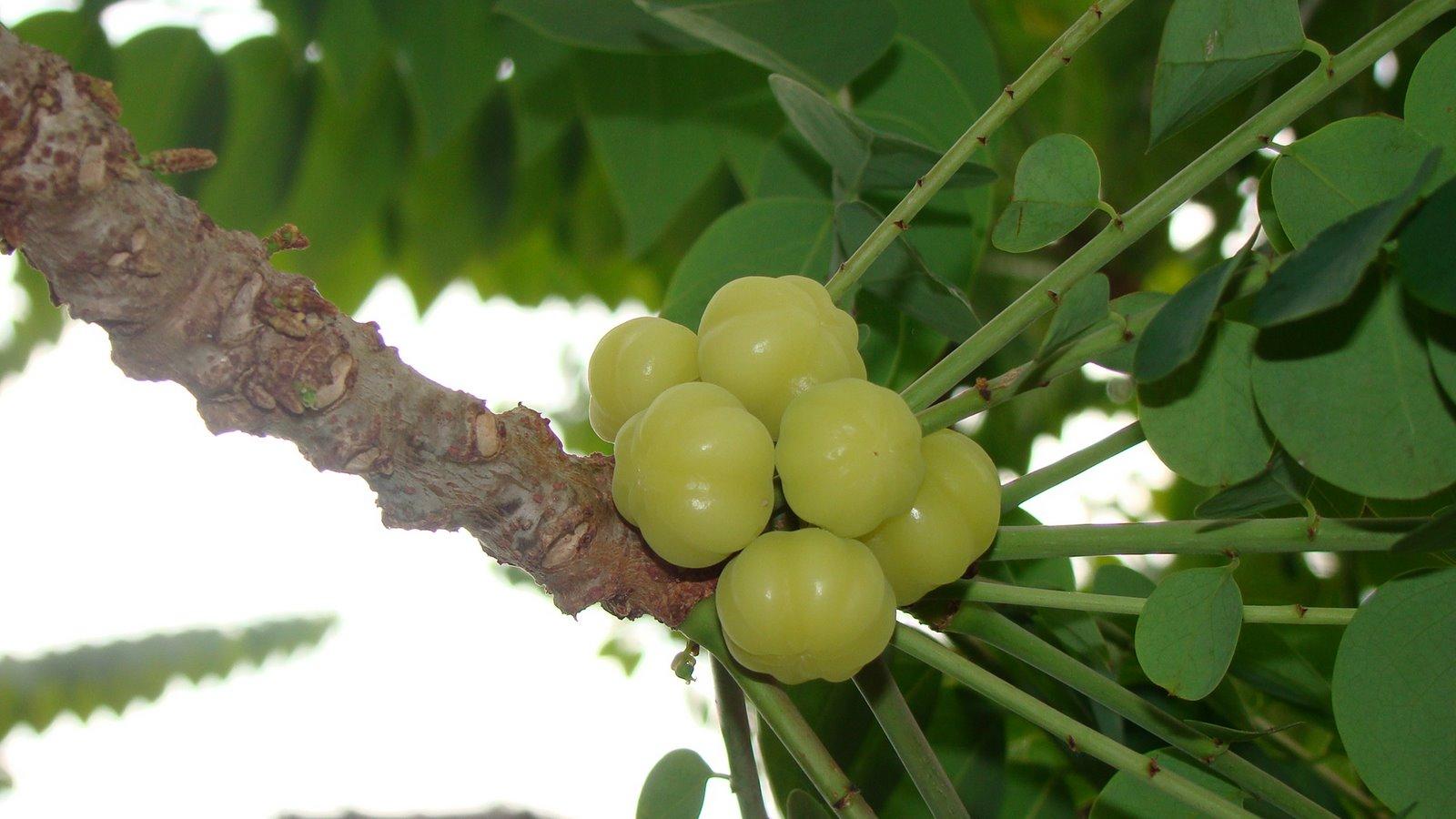 Ceremai tumbuhan berbentuk pohon, berumur panjang, daun tunggal
