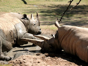 photo of two rhinos relaxing in the mud at Reid Park Zoo