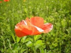 Imatges natura (rosella)