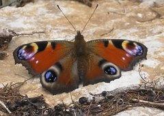 Imatges natura (papallona)