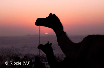 Posted by Ripple (VJ) :  Pushkar Camel Fair 2008 : Camels waiting for Sunset after a busy day during the fair @ Pushkar Camel Fair 2008The small and beautiful town of Pushkar is set in a valley just about 14 km off Ajmer in the north Indian state of Rajasthan. Surrounded by hills on three sides and sand dunes on the other, Pushkar forms a fascinating location and a befitting backdrop for the annual religious and cattle fair which is globally famous and attracts thousands of visitors from all parts of the world.