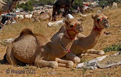 Posted by Ripple (VJ) :  Pushkar Camel Fair 2008 : Camel Couple @ Pushkar Camel fair 2008