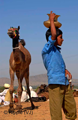 Posted by Ripple (VJ) :  Pushkar Camel Fair 2008 : Boy looking at other group of Camels @ Pushkar Camel fair 2008: ripple, Vijay Kumar Sharma, ripple4photography, Frozen Moments, photographs, Photography, ripple (VJ), VJ, Ripple (VJ) Photography, Capture Present for Future, Freeze Present for Future, ripple (VJ) Photographs , VJ Photographs, Ripple (VJ) Photography: One of the most popular and colorful fairs of the Thar desert is the Pushkar fair, which begins on Kartik Shukla Ekadashi & goes on for five days till Kartik Purnima. The time of the fair coincides with the bright half of the moon during the months of October-November. The lake at Pushkar is one of the most sacred in India.  Special Attractions -  Camel FairThe picturesque lake of Pushkar is set in a valley just about 11 kilometres northwest of Ajmer, surrounded by hills on three sides and sand dunes on the fourth. Pushkar forms a fascinating location and a befitting backdrop for the annual religious and cattle fair. Turbaned heads of men, and colorful veils and skirts of the women, bring alive the arid desertscape. The village women dress in their best colourful clothes and finery for the five-day mela.  Like Varanasi, Pushkar is one of the sacred places for the Hindus, with 400 temples of which the most important is dedicated to Lord Brahma - the creator of the universe. Fifty-two ghats bind the lake. During the days of the mela, the otherwise tranquil lake is engulfed with religious fervor. Thousands of devotees collect to take a dip, sadhus descend from the Himalayas and people pray for salvation to the sound of verses from the Holy Scriptures, which fill the air.  In the afternoons, people crowd the stadium where camels, horses, and cows are paraded and raced. Camels are bought and sold during the Pushkar fair.  On the roadside, stalls of all kinds are set up to sell a cornucopia of items. Almost every household is engaged in setting them up as the locals try to capitalize on the massive influx of people. It is impossible to drive around because of the large crowds. Either you hire a camel or you walk. In this aspect, it is truly a rural bazaar.  An interesting part of the Pushkar Fair is the mass trading of camels. Of course, cattle and other livestock are also traded, but it's camels that hold center stage at Pushkar. Camel-traders and villagers from miles away converge to Pushkar with their humped beasts. Over 25,000 camels (on the conservative side) are traded; making this world's largest camel fair.  Since Pushkar is a religious place alcohol and non-vegetarian food is prohibited.  Pushkar Fair - Rituals and Traditions  Girls in Pushkar FairThese five days are a period of relaxation and merry-making for the villagers, despite being the busiest for them, as this is one of the largest cattle fairs in the country. Animals, mainly camels, are brought from miles around. Trading is brisk as several thousand heads of cattle exchange hands. All the camels are cleaned, washed, adorned, some are interestingly shorn to form patterns, and special stalls are set up selling finery and jewelry for the camels. Camels at the Pushkar fair are decorated with great care. They wear jewelry of silver and beads. There are silver bells and bangles around their ankles that jingle-jangle when they walk. An interesting ritual is the piercing of a camel's nose.  Races and competitions are organized. Camels lope across the sands sometimes throwing their riders on to the vast sands, amidst cheers and jeers from thousands of spectators. An interesting event is the camel beauty contest, where they are adorned and paraded. The camels preen before the crowds, enjoying every moment of the attention they get.  It is believed that for five days every year, all the gods visit Pushkar and bless the devout. This accounts for the unbelievable number of devotees who flock to the lake to wash away their sins.