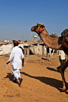 Posted by Ripple (VJ) : Padharo Mhare Desh : Rajasthan, INDIA : A Camel being lead on by its tamer - notice how the delicate strings hold the powerful animal easily...