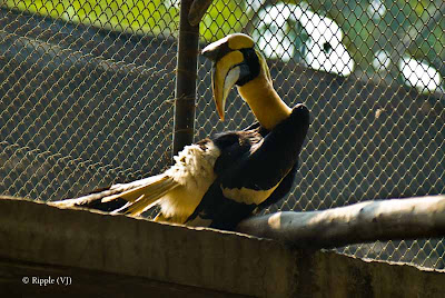 Posted by Ripple (VJ) ; Colorful Birds @ Delhi Zoo : Great Hornbill (a.k.a Greater Indian Hornbill)