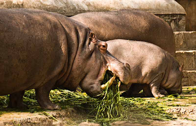 Posted by Ripple (VJ) : Delhi Zoo Revisited : Mamma and Papa Hippos with their Four Months old Baby