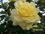 Tus rosas perferidas.