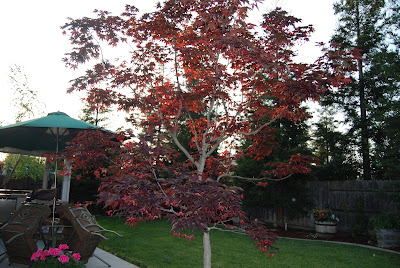 Our Large Bloodgood Japanese Red Maple tree is still adding it's beautiful leaves.