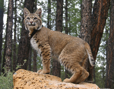 Bobcats in Kentucky http://www.sodahead.com/entertainment/whats-your-favorite-animal/question-631297/