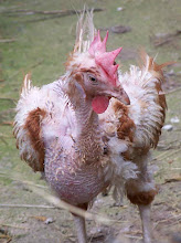 Please help to rehome ex-battery hens