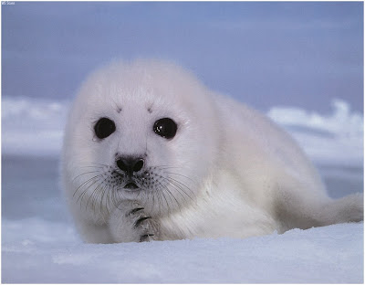 seal animal. /feat-canadaSealHunt.asp