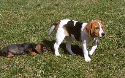 Born To Track Blog Do Wirehaired Dachshunds Shed How To