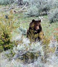 Grizzly Having Lunch