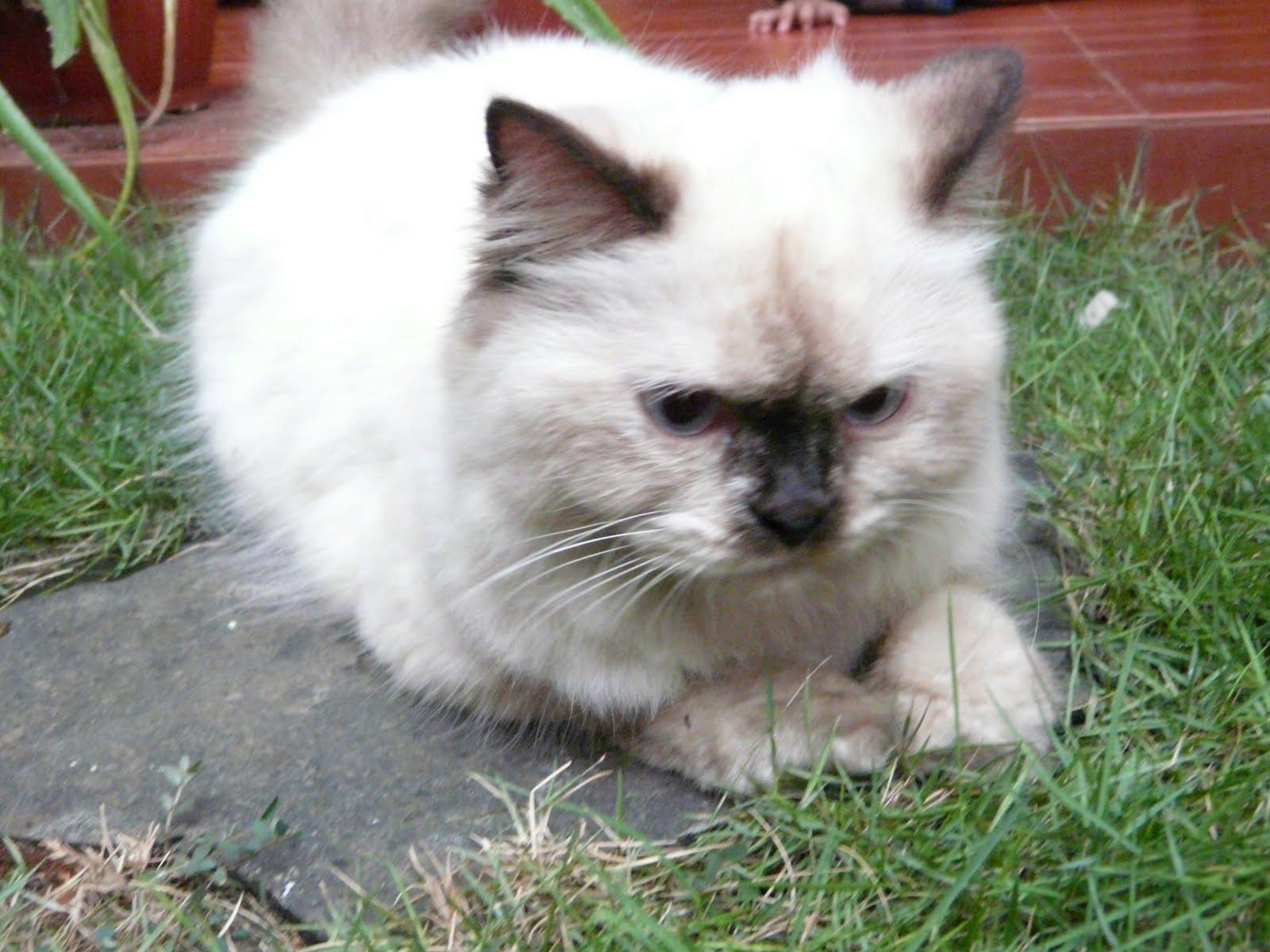 Groove My World Kucing Persia Himalayan Betina Butuh Kawin