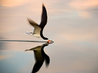 black skimmer Photo galleries featuring animals wildlife sharks lions tigers bears elephants seals giraffes zebras african animals and more from National Geographic