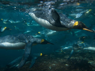 king penguins swimming extinction photograph
