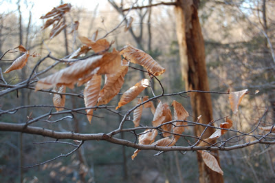 Beech tree leaves, Wissahickon Park.