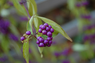 Purple berries.