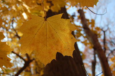 Golden maple leaf.