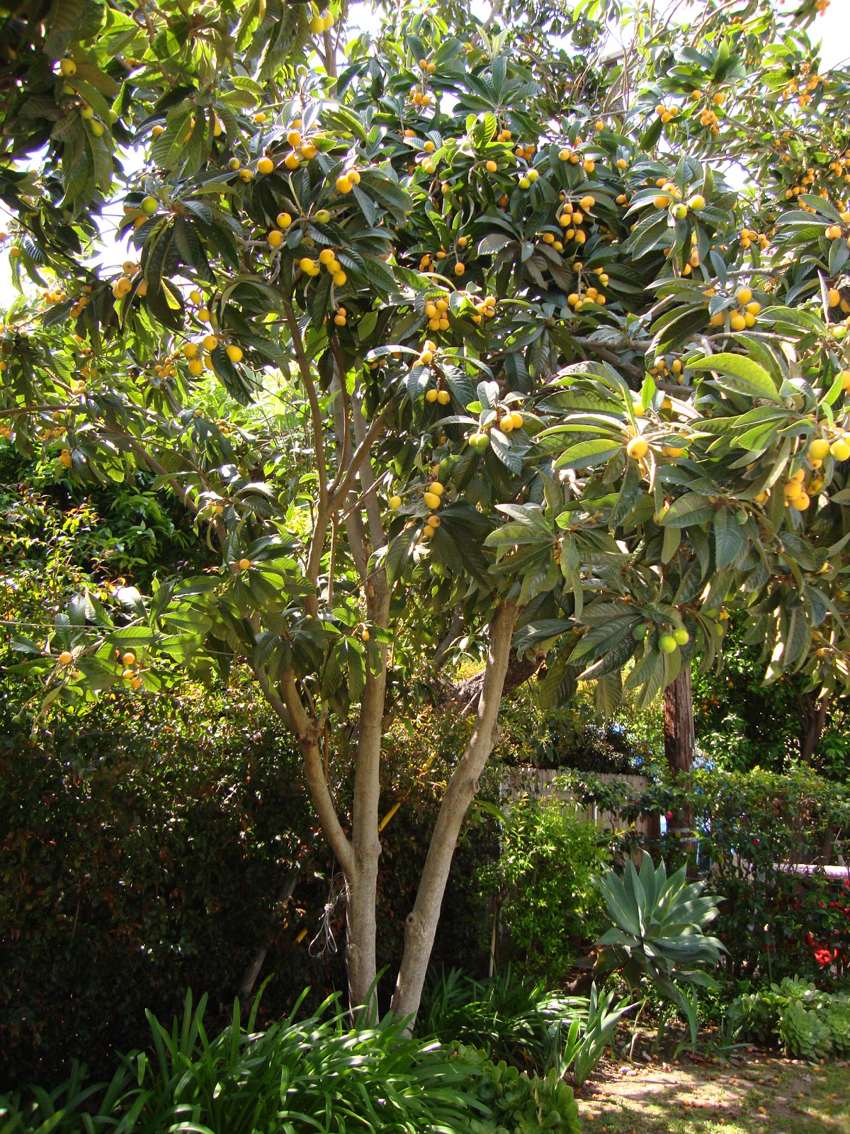 Eriobotrya japonica loquat tropical trees and shrubs for Garden trees photos