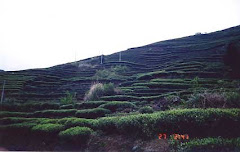 MOUNTAINOUS TEA FIELDS