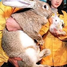 Conejos Gigantes.