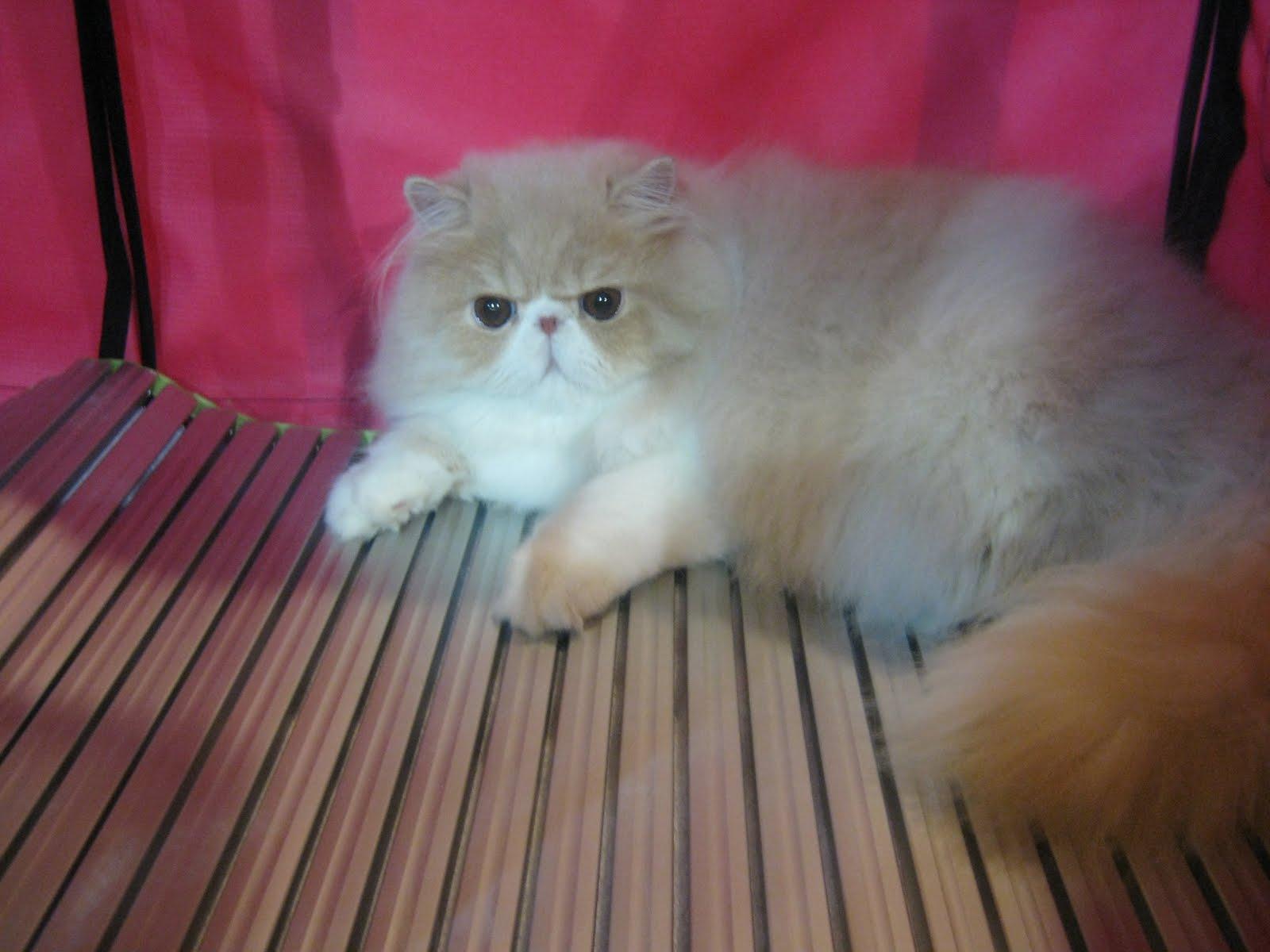 Kucing Comel Gebu Dan Montok Di International Cat Show