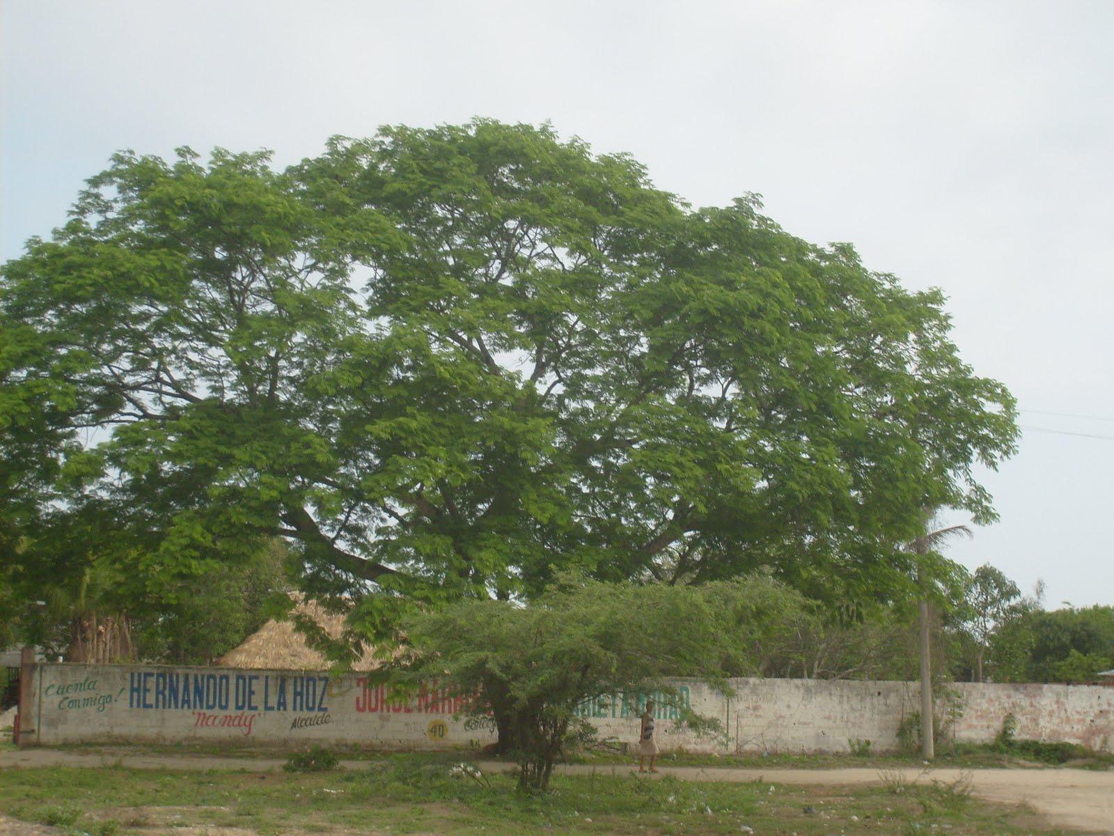 este es el árbol de carito enterolobium cyclocarpum se encuentra ...
