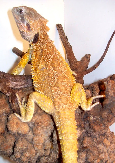 Male Pogona Mitchelli