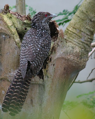 Female Asian Koel Photo from Answers.com