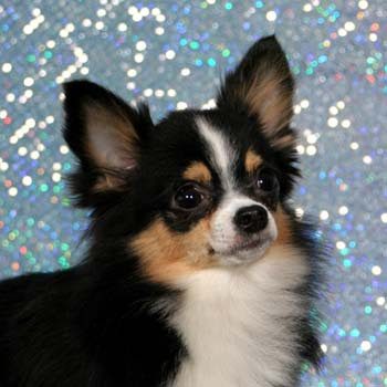 long haired chihuahua puppy. Cute tri-color long haired