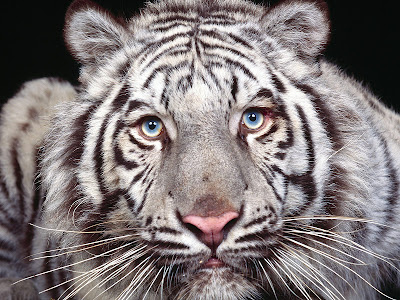white tiger wallpaper. white tiger wallpaper.