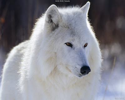 High definition large wolf walpaper