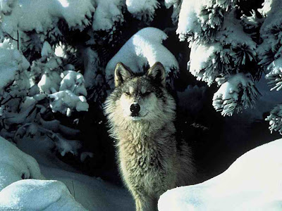 Snowfall with wolf photo