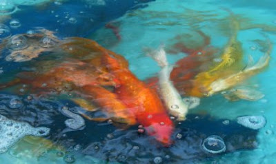 Koi japan for Japanese koi fish wholesale