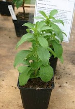 Pokok stevia atau pokok gula