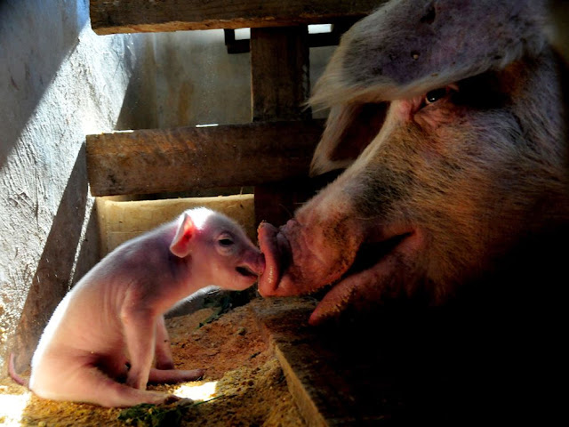 Pictures Of Pigs Bums. Pigs