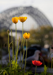 Poppies with Sydney Harbour Bridge backdrop